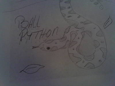 Python Drawing - Ball Python  by Bailey Reed