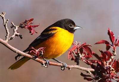 Oriole Photograph - Baltimore Oriole In Crabapple by Bruce J Robinson