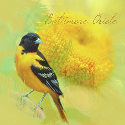 Oriole Digital Art - Baltimore Oriole Watercolor Photo by Heidi Hermes