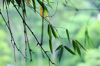 Photograph - Bamboo Leaves 1 by Jenny Rainbow