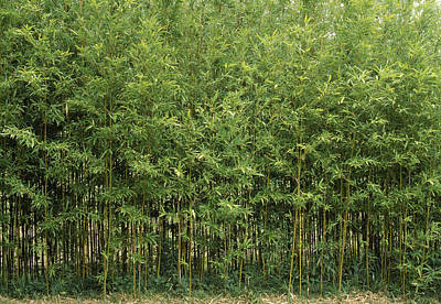 Bamboo Forest Photograph - Bamboo Trees In A Forest, Fukuoka by Panoramic Images
