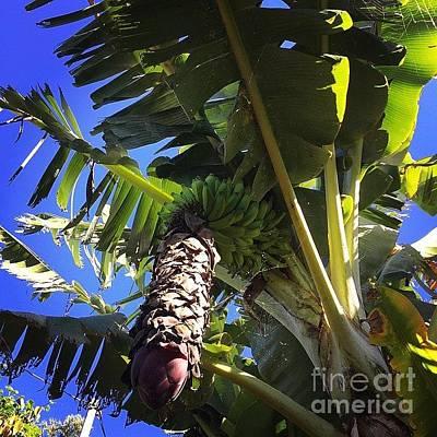 Food And Beverage Photograph - #banana #maui #hawaii #ono #fresh by Sharon Mau