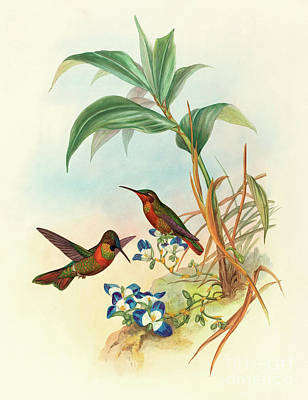 Floral Drawing - Banded Ruby by John Gould