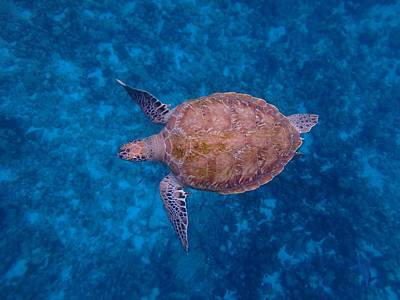 Tropical Photograph - Barbados Sea Turtle by Kimberly Perry