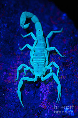 Bark Scorpion By Blacklight Print by Stuart Wilson