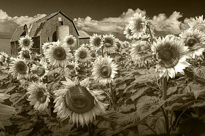 Brown Toned Art Photograph - Barn And Sunflowers In Sepia Tone by Randall Nyhof