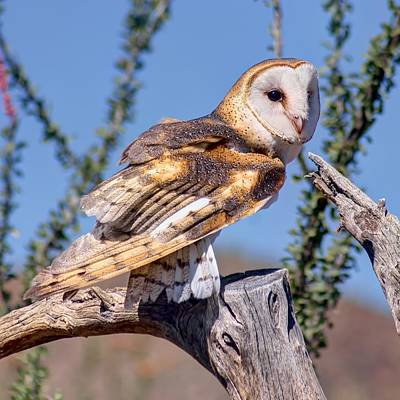 Barn Owl - Raptor Print by Nikolyn McDonald