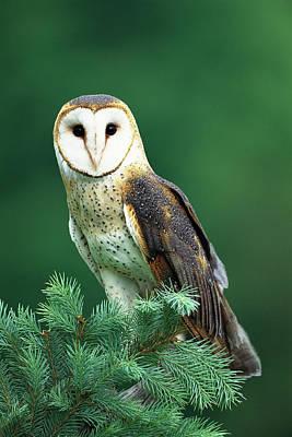 Barn Owl Tyto Alba Portrait, Hudson Print by Tom Vezo