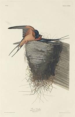 Swallow Drawing - Barn Swallow by John James Audubon