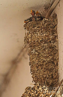 Swallow Chicks Photograph - Barn Swallow Nest by Neil Bowman/FLPA