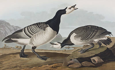 Geese Drawing - Barnacle Goose by John James Audubon