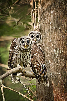 Lake Martin Photograph - Barred Owl Pair by Bonnie Barry