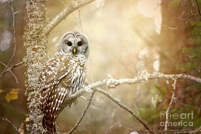 Barred Owl - Woodland Fellow Print by Beve Brown-Clark Photography
