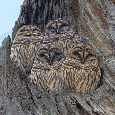 Barred Owls Who Are You Print by Betsy Knapp