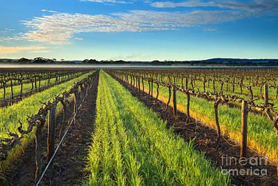 Vines Photograph - Barrossa Vineyard Sunrise by Mike Dawson