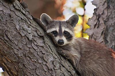 Raccoon Photograph - Bashful Raccoon by Benjamin DeHaven
