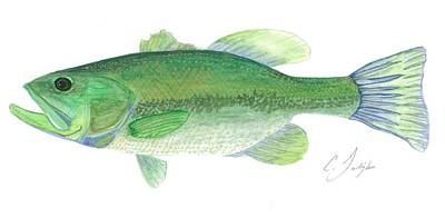 Bass Watercolor Painting  Original by Christian Galligher