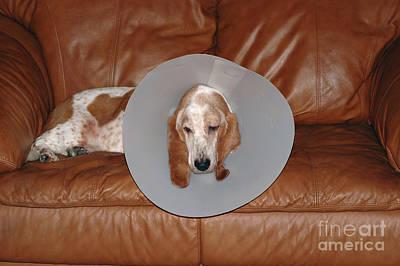 Pet Care Photograph - Basset With Elizabethan Collar by John Kaprielian