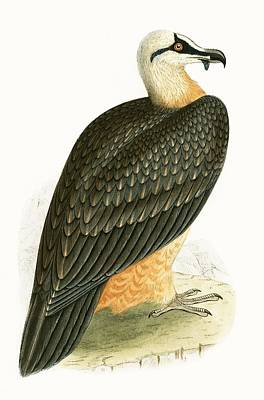Bearded Vulture Print by English School
