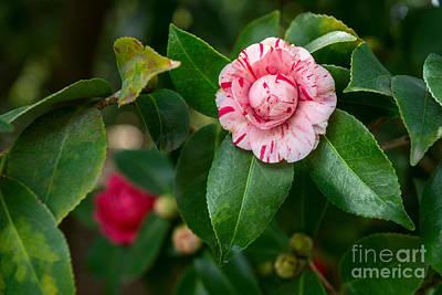 Camellia Japonica Photograph - Beautiful Camellia Marischino Flower. by Jamie Pham