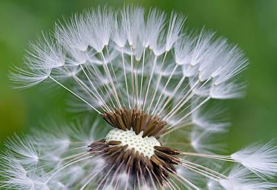 Plant Photograph - Beautiful Dandelion by Lise-Lotte Larsson