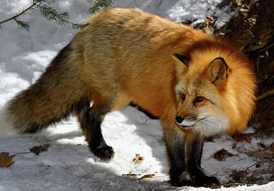 Fox Photograph - Beautiful Golden Fur Of A Red Fox In A Snow Covered Forest by Reimar Gaertner