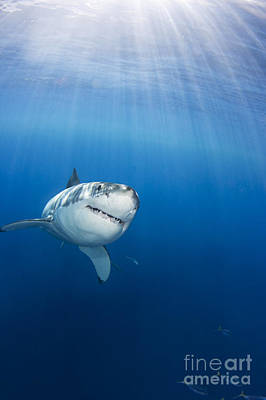 Sharks Photograph - Beautiful Great White by Dave Fleetham - Printscapes