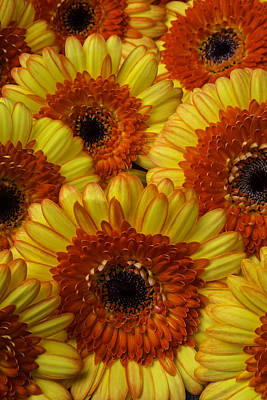 Gerbera Daisy Photograph - Beautiful Red And Yellow Germini by Garry Gay