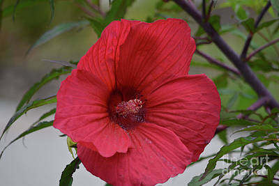 Beautiful Red Hibiscus Print by Ruth Housley