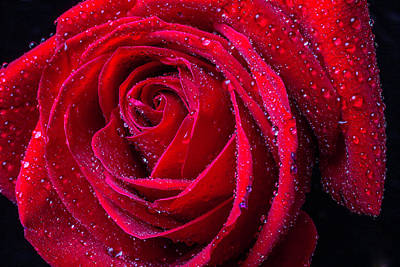 Beautiful Red Rose With Dew Print by Garry Gay