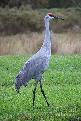 Beautiful Sandhill Crane Print by Carol Groenen