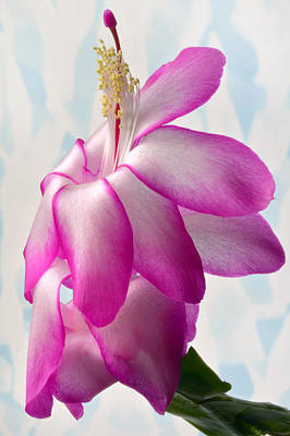Christmas Cactus Photograph - Beautiful Schlumbergera. by Terence Davis
