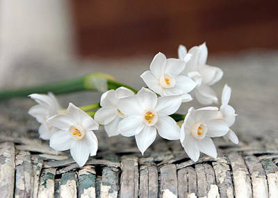 Vintage Photograph - Beautiful Spring Paperwhites by Carla Parris