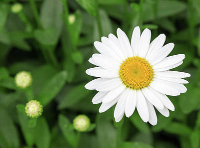 Daisies Photograph - Beautiful White Daisy In The Garden by GoodMood Art
