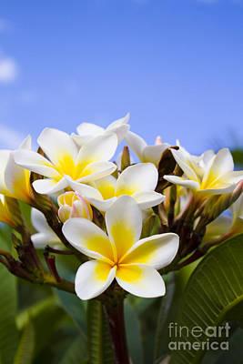 Beautiful White Frangipani Flowers Print by Jorgo Photography - Wall Art Gallery