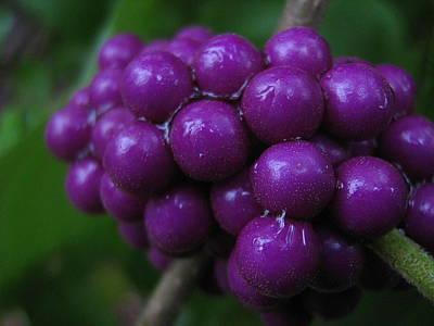 Texas Photograph - Beauty Berries 2 by Rebecca Shupp