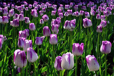 Tulip Photograph - Bed Of Purple And White Shirley Tulips Backlit In Early Morning  by Reimar Gaertner