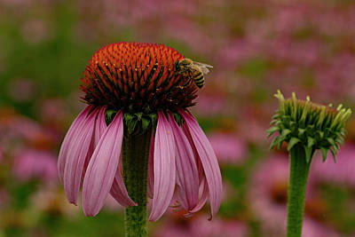 Bee On Echinacea Print by Jean Noren