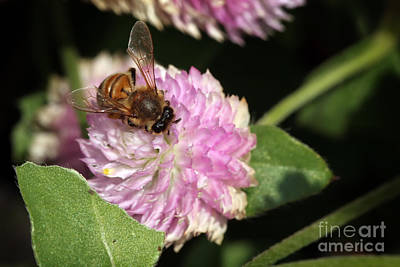 Bee On Gomphrena Print by Jeannie Burleson