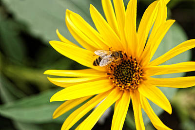 Workaholics Photograph - Bee Pollinating On Yellow Flower  by Jelena Stojic
