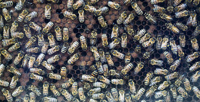 Bees In Hive Madison Wisconsin Print by Steven Ralser