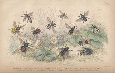 Bumblebees Drawing - Bees by Oliver Goldsmith