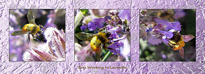 Bees Working Lavender Collection Print by Michele  Avanti