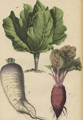 Cabbage Drawing - Beet Root Vegetable by German Botanical Artist
