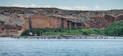 Raft Photograph - Before The Flight #1 Canadian Geese by Matthew Lit