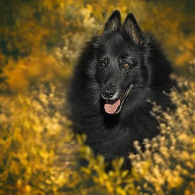 Belgian Sheepdog Photograph - Belgian Sheepdog Portrait 5 by Wolf Shadow  Photography