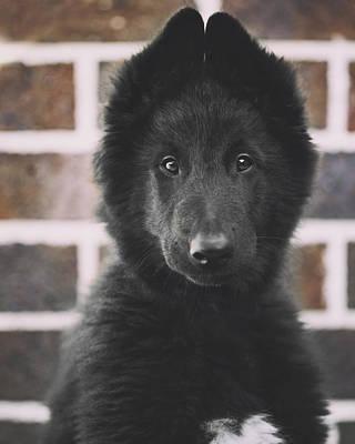 Belgian Sheepdog Photograph - Belgian Sheepdog Puppy Portrait by Wolf Shadow  Photography