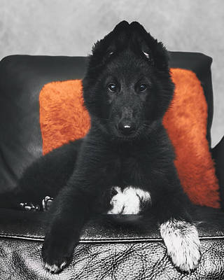 Working Dogs Photograph - Belgian Sheepdog Puppy by Wolf Shadow  Photography