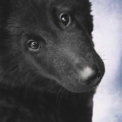 Belgian Sheepdog Photograph - Belgian Shepherd Puppy by Wolf Shadow  Photography