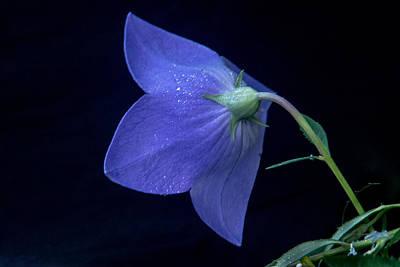 Bell Flower From Behind Print by Douglas Barnett